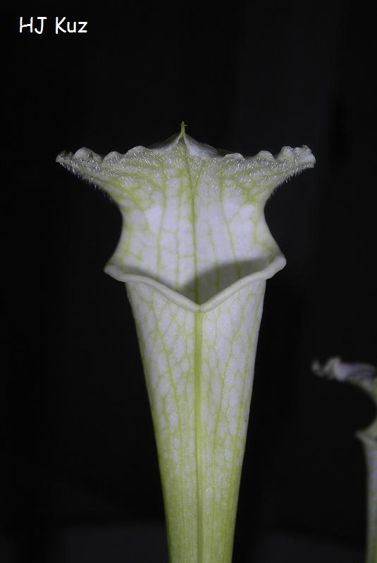 "Sarracenia leucophylla ""White top"""