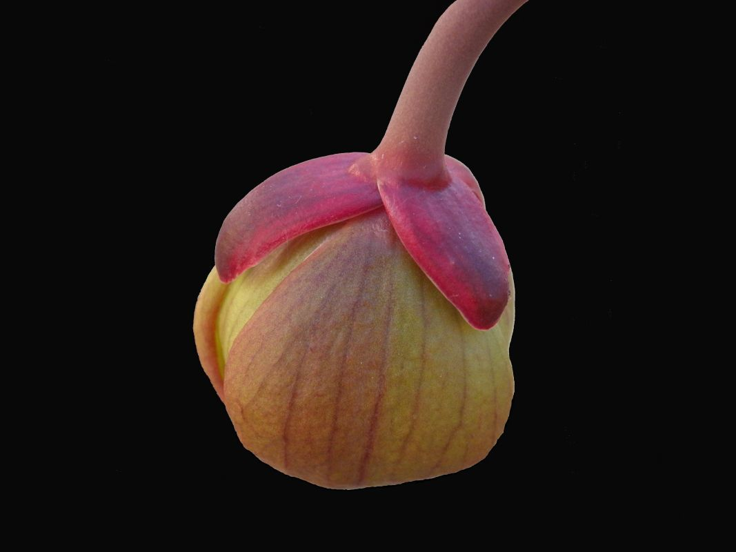 Sarracenia X Brookes Hybrid Flower Bud