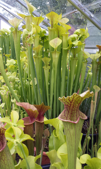 A view of my Sarracenia bench.