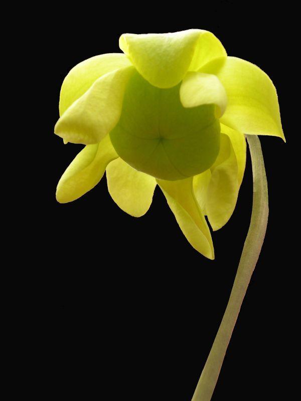 Sarracenia Flava V Cuprea Flower 3a