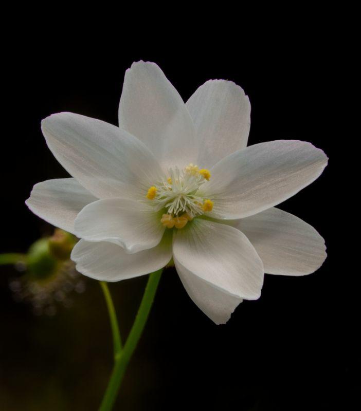 Drosera heterophylla flower DHET1