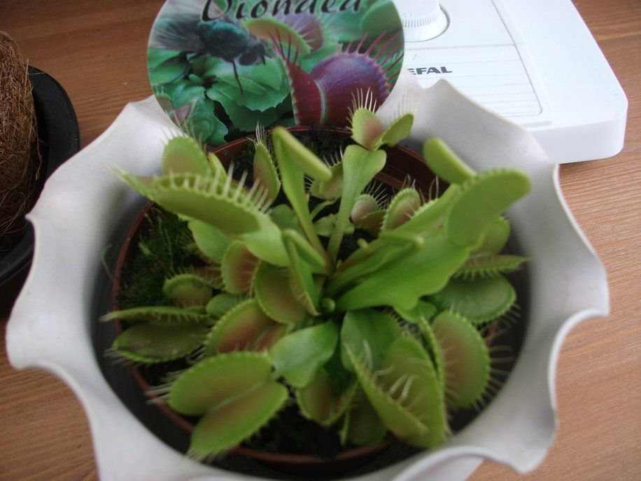 My First Venus Fly Trap
