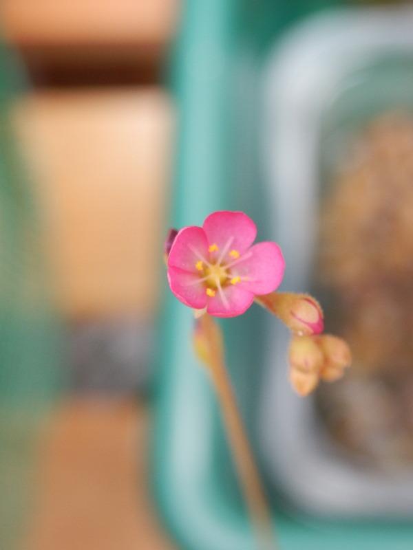 Drosera flower