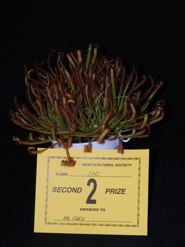 Drosera Capensis Entry