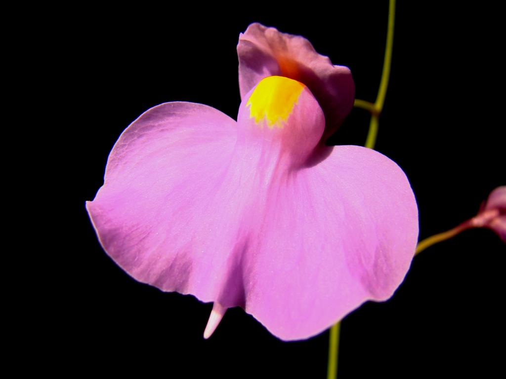 Utricularia longifolia 2