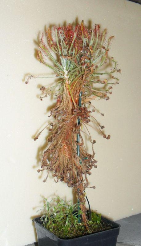 drosera chrysolepis