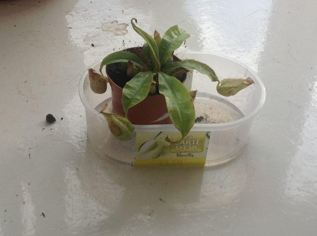 My pitcher plant