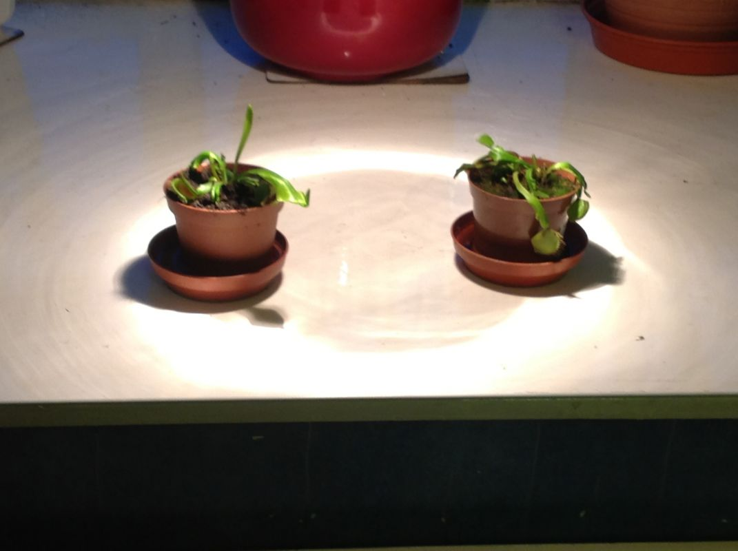 My venus fly traps