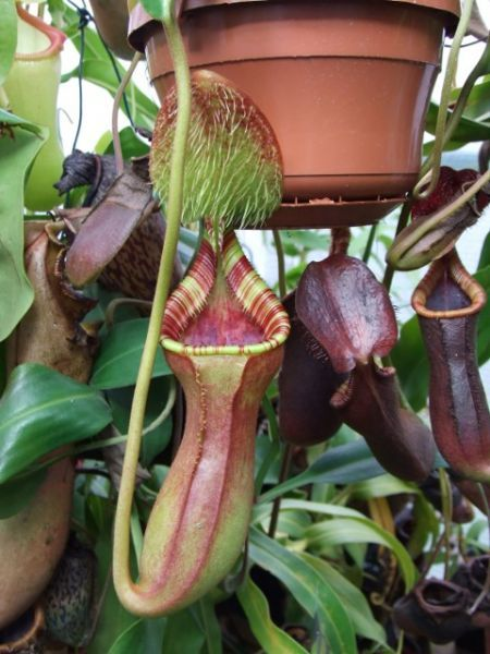 Leo's Nepenthes