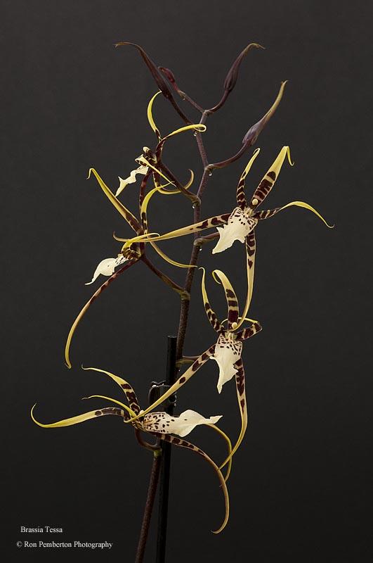 Brassia Tessa