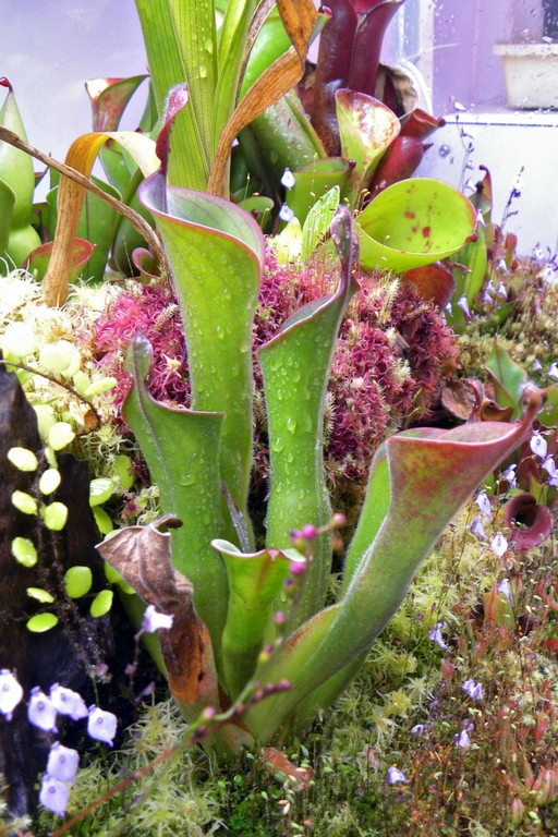 Heliamphora and Nepenthes
