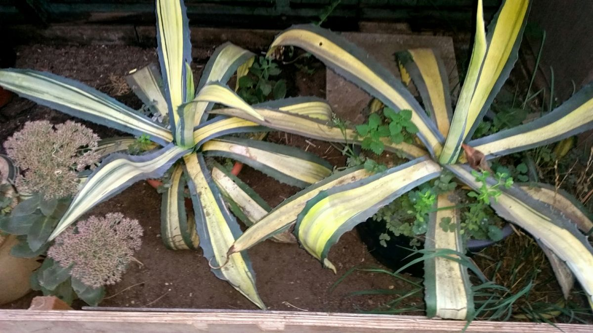 Rob's Agaves
