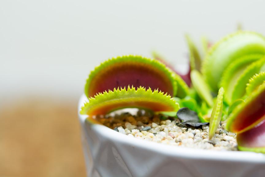 Sawtooth Venus Flytrap