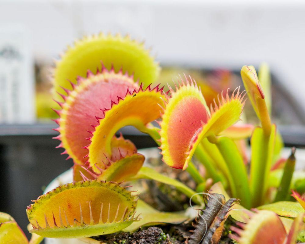 Dionaea Jaws
