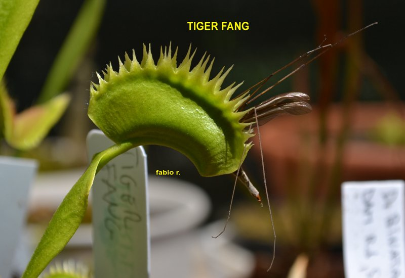 tiger fang.jpg