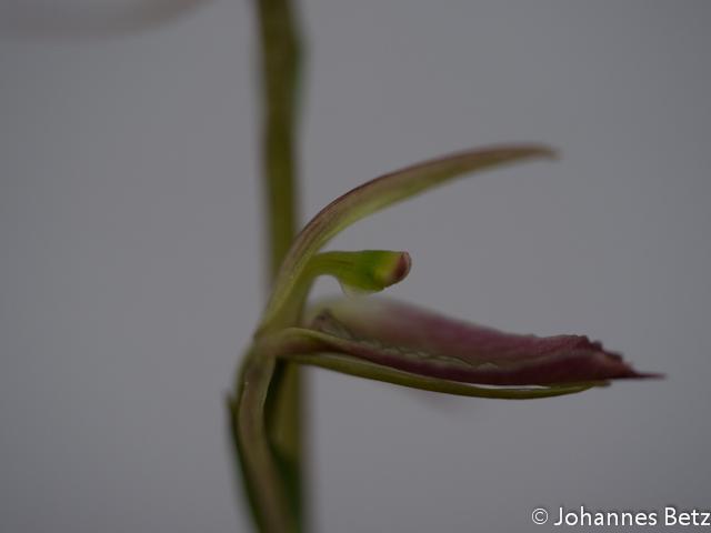 Cyrtostylis robusta  _-5.jpg