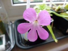 pinguicula moctezumae flower