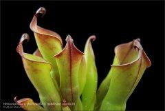 heliamphora_folliculata_x_neblinae_clone1_3.jpg