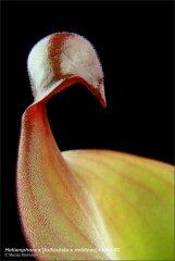 heliamphora-folliculata-x-neblinae-clone2.jpg
