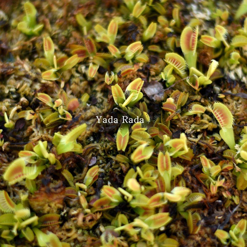 Dionaea H13