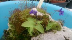 Ping on aquarium 'tufa' (P. grandiflora from seed 2012, CPS s/bank)