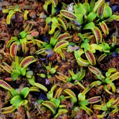 dionaea jaws smiley