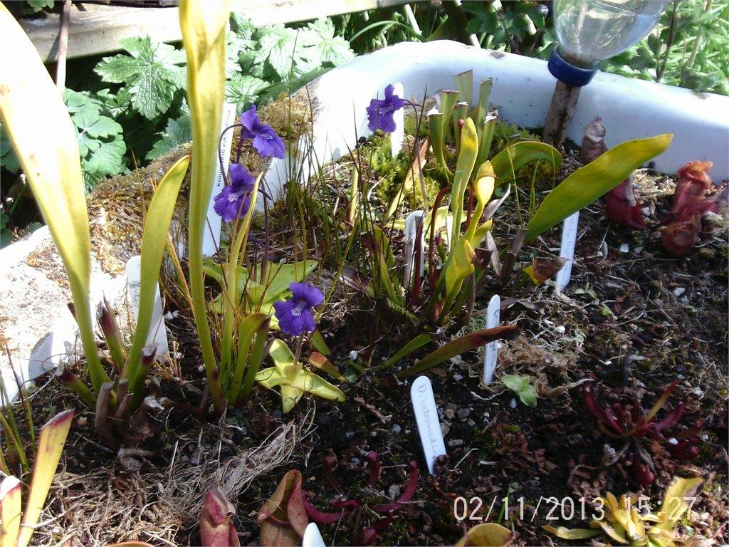 Flowering P.grandifloria
