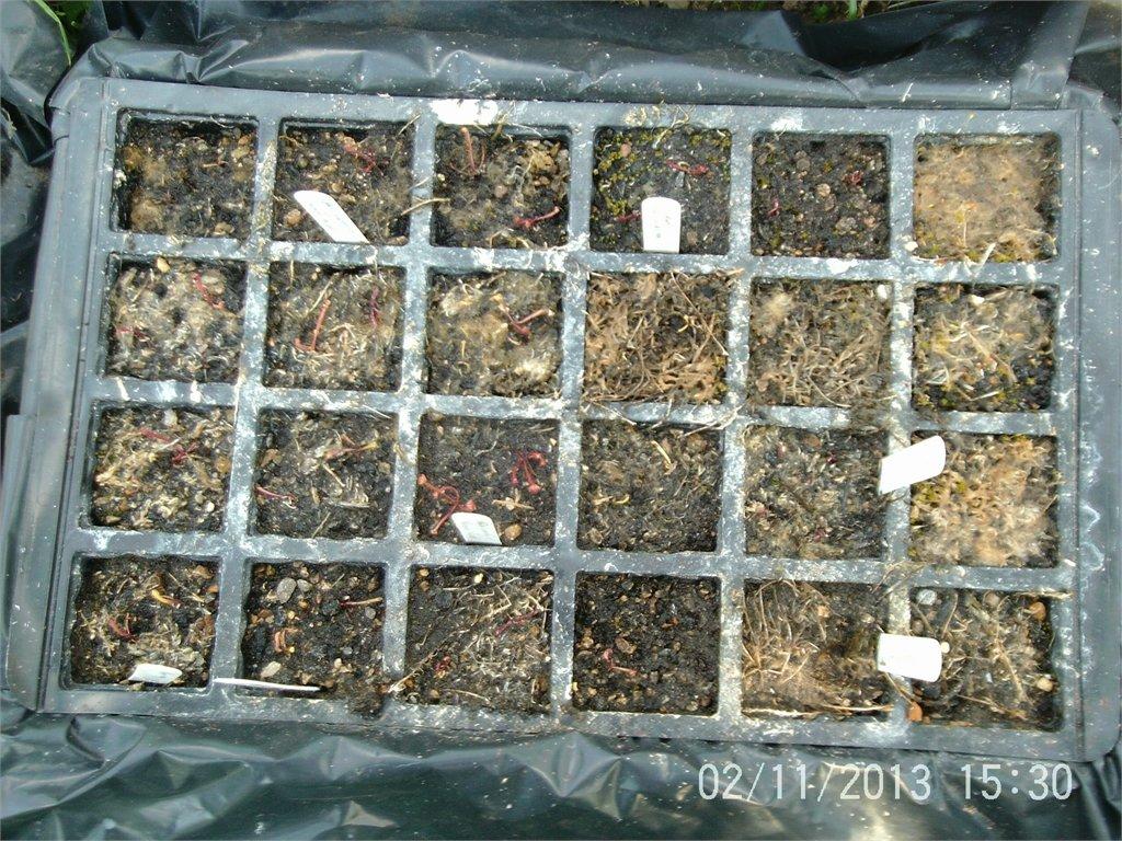 Second seasons growth on Sarracenia seedlings