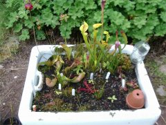 Not been a good year for Sarracenia in Sink Planter