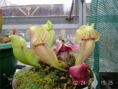 S.purpurea1.JPG