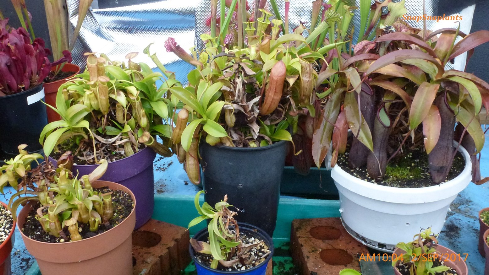 Some Nepenthes growing well   got some of shoots at the front doing well