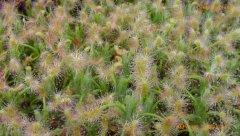 drosera scorpioides 1.jpg