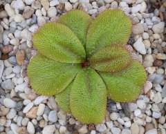Drosera rosulata gigant swamp form DROS3.jpg