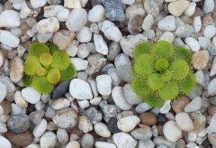 Drosera lowriei yellow plants DLOW8.jpg