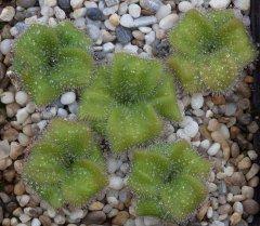 Drosera colina 5 plants DCOL1.jpg