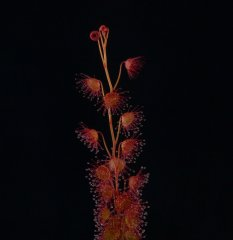 Drosera basifolia DBAS1 3.jpg