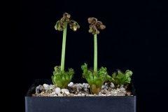 Drosera stolinifera 2 flowers stalks DSTO2.jpg