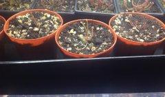 Seedlings Sarracenia flava var. atropurpurea Waccamaw