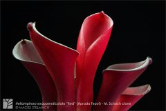 h_exappendiculata_red_aprada.jpg