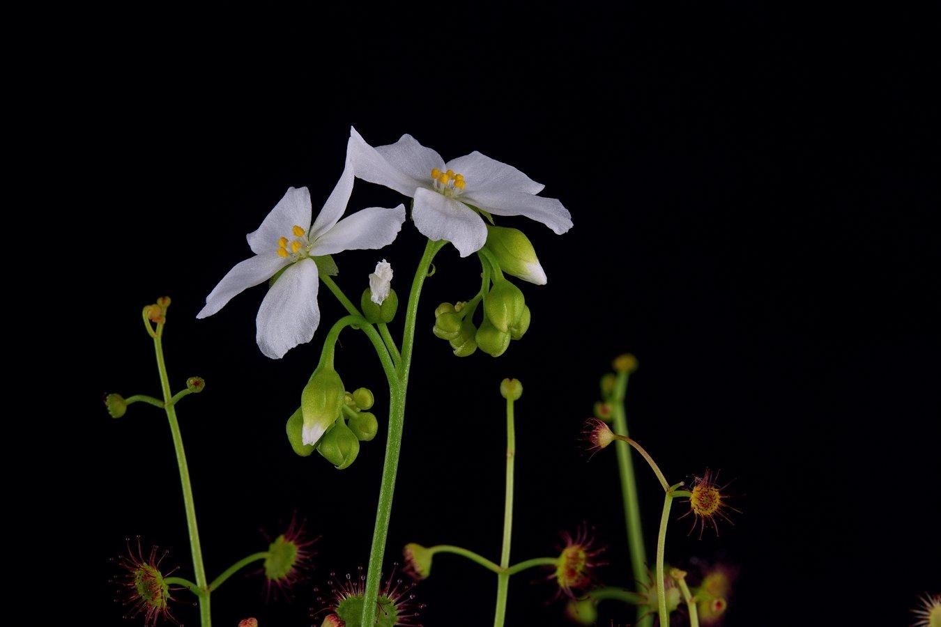 Drosera fimbriata flower.jpg