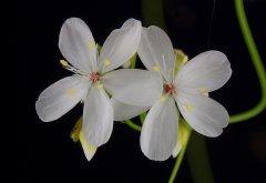 Drosera palladia DPAL2 flower.jpg