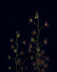 Drosera radicans.jpg