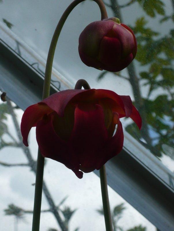large.leuco_flower.JPG.e989964265b1c7d83