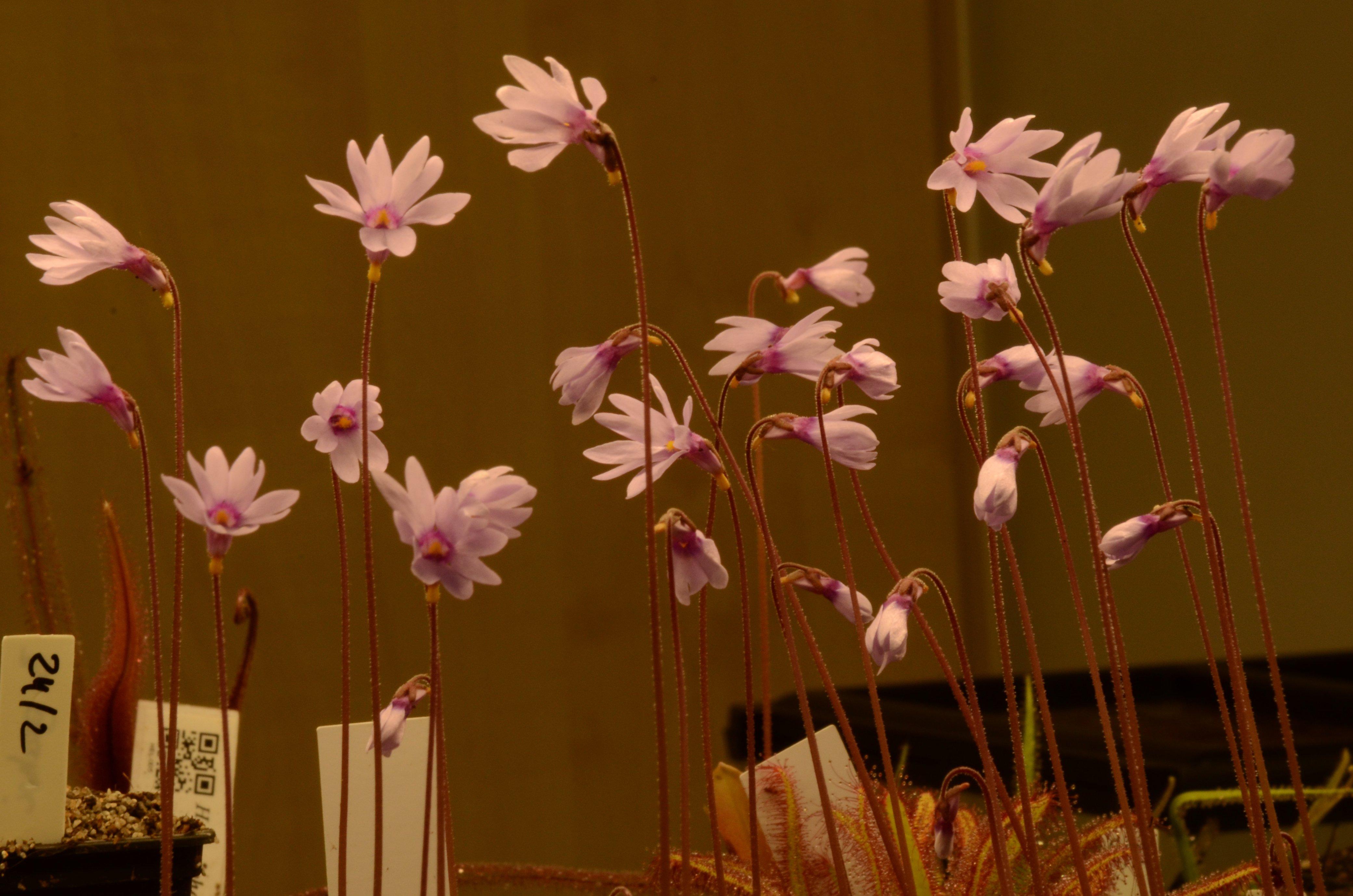 Pinguicula planifolia adultes à vendre DSC_0465.jpg.0024a1e642faf37bcedb7e87ebed893e