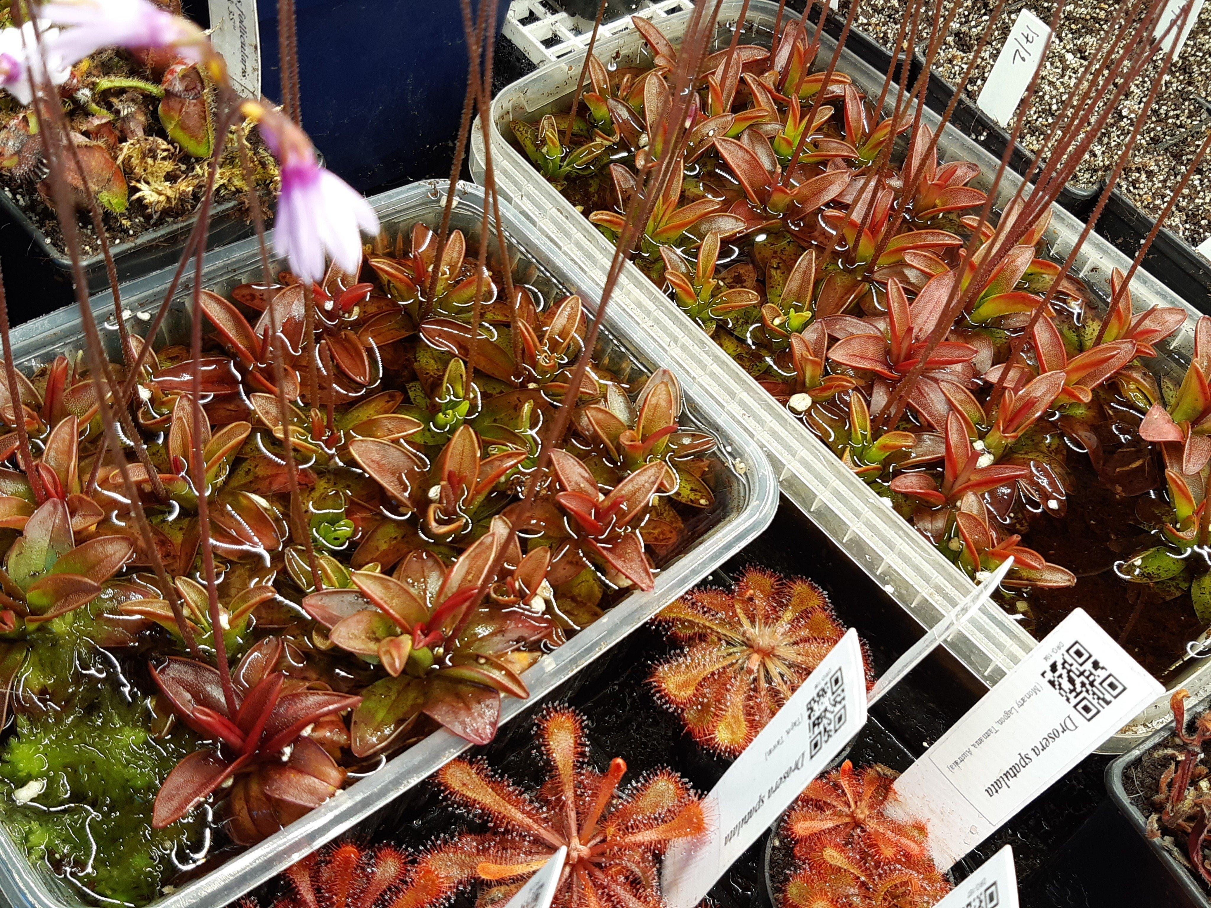 Pinguicula planifolia adultes à vendre Signal-attachment-2020-03-24-152140.jpeg.67c05dfd41c9329b7eb6c0d68a9b02eb