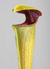 Sarracenia alata var. rubrioperculata