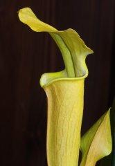 Sarracenia alabamensis subsp. alabamensis