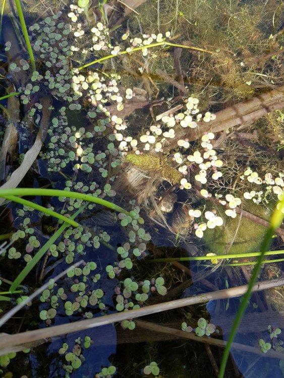 狸藻_Utricularia vulgaris (1).jpg