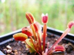 """Dionaea """"Red Piranha"""""""