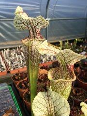 Sarracenia Hybrid 01 x Camisole #2 (Diflora)